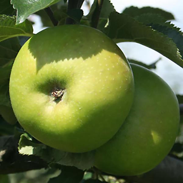 Apple bramley potted fruit tree 7 5l 347177 ideal world for Perfect kitchen bramley