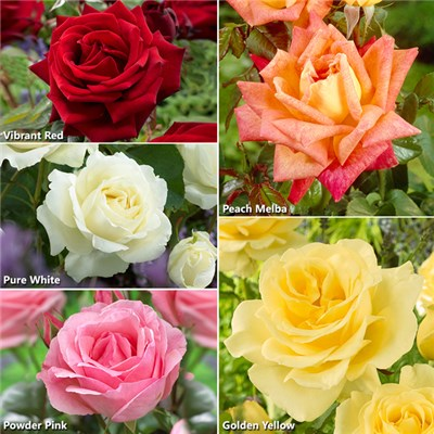 Best Ever Rose Collection - Includes 5 Bushes