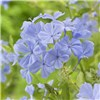 Blue Plumbago - 1 x 2L Potted Plant