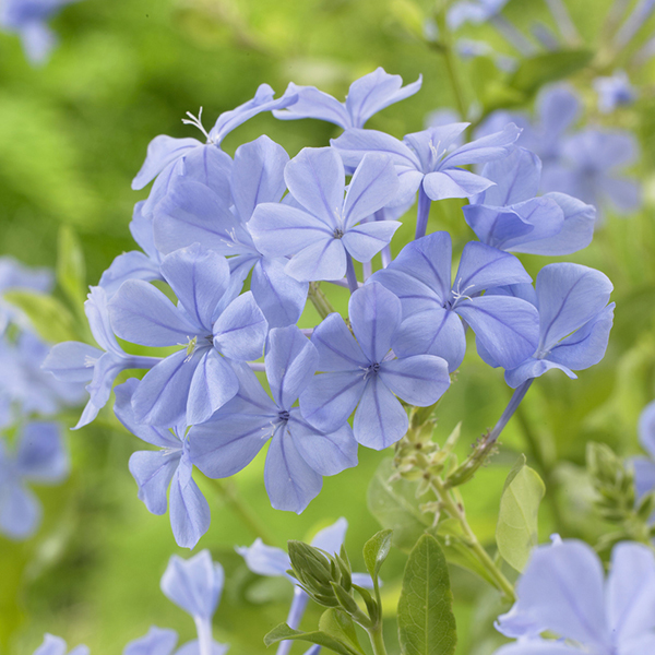 Blue Plumbago 2L Pot No Colour