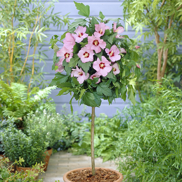 Hibiscus Hamabo Standard Pink - 1m Tall No Colour
