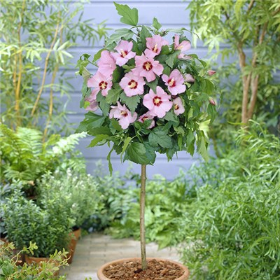 Hibiscus Hamabo Standard Pink - 1m Tall