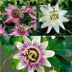 Passion Flower Collection - 3 x 9cm Plants