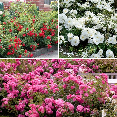 Flower Carpet Rose Collection - 3 x 3L Pots