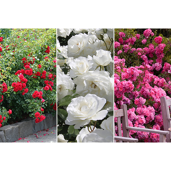 Flower Carpet Rose Collection - 3 x 3L Plants No Colour