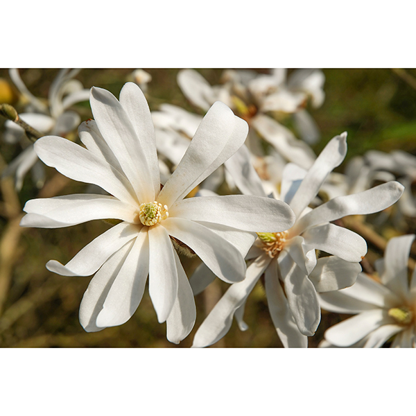 Magnolia stellata Standard 1M tall No Colour