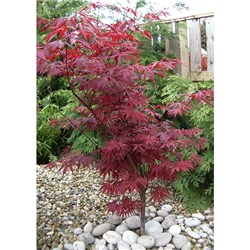 Pair of Acer Atropurpureum Red Maple in 10.5cm Pots