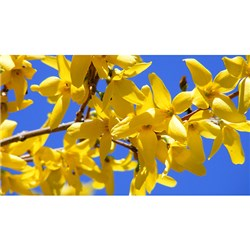 Pair Forsythia Trees 70-100cm
