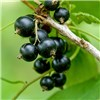 Pair Blackcurrant Ben Lomond Bushes - 2 x 3L Pots