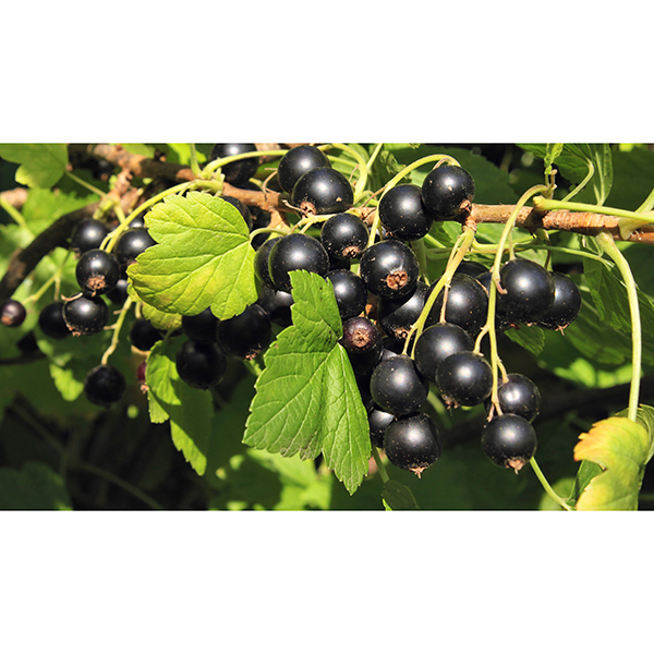 Pair Blackcurrant Ben Lomond Bushes - 2 x 3L Pots No Colour