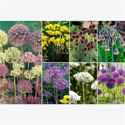 Allium Bulb Collection x 100 bulbs