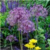 Allium Bulb Collection - 100 x Bulbs