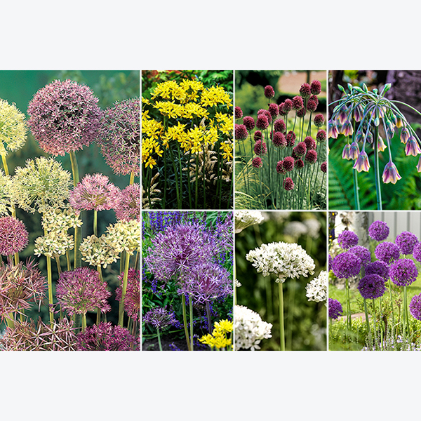 Allium Bulb Collection x 100 bulbs No Colour