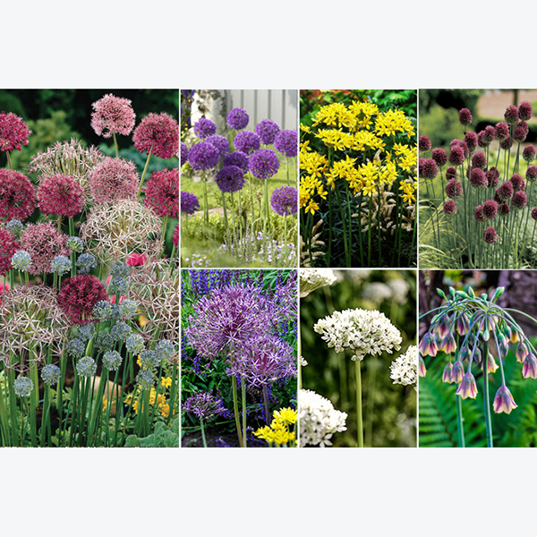 Allium Bulb Collection (100 Pack) No Colour