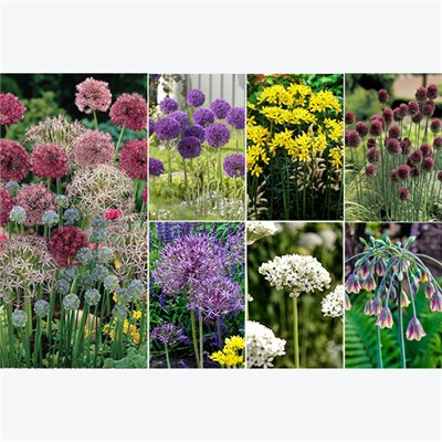 Allium Bulb Collection (100 Pack)