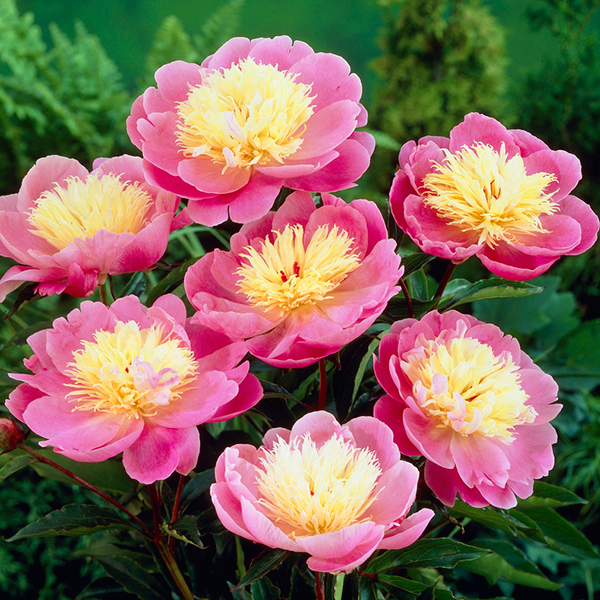 Paeony 'Bowl of Beauty' Bare Roots (3 Pack) No Colour