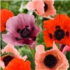 Hardy Oriental Poppies x 5 Bare Root Mixed No Colour