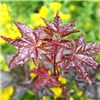 Acer Crimson King Standard Tree 1M