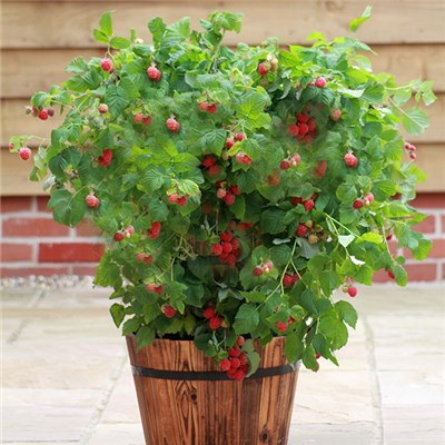 Patio Raspberry 'Ruby Beauty' 2L Pot