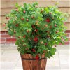 Patio Raspberry Ruby Beauty 2L pot No Colour
