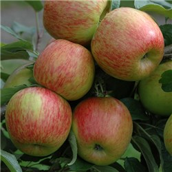 Apple Braeburn Tree 1.4M Bare Root