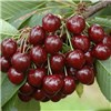 Sweet Cherry Stella Tree 1.4M Bare Root No Colour