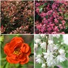 Complete Winter Hardy Shrub Collection 12 Varieties