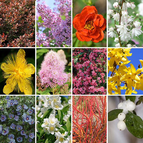 Complete Winter Hardy Shrub Collection (12 Varieties) No Colour