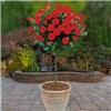 Patio Standard Rose Collection x 4 Bare Root Roses