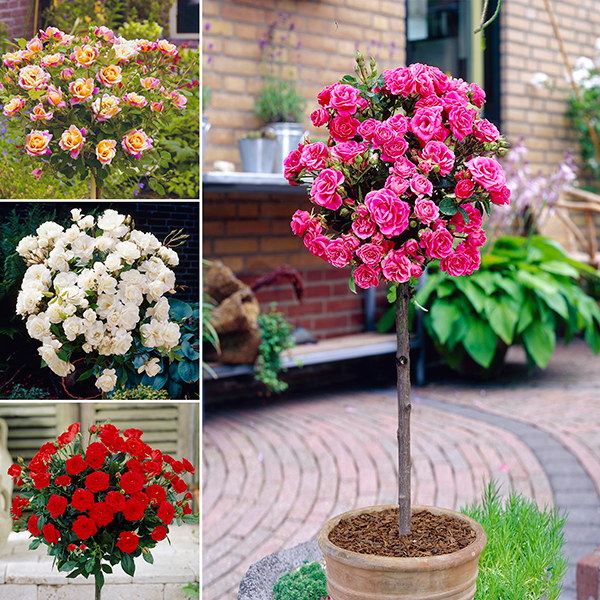 Patio Standard Rose Collection x 4 Bare Root Roses No Colour