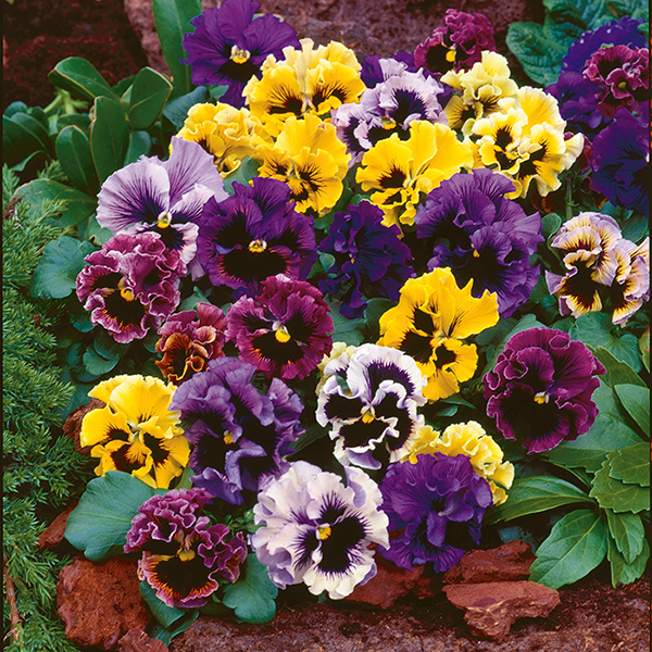 Pansy Frizzle Sizzle - 40 Plug Plants No Colour