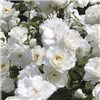 Garden Glamour Scented Rose Bushes x 5