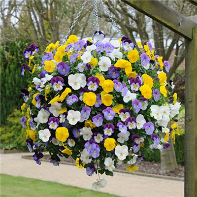 Trailing Pansy Cool Wave Mix