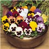 Pansy Magnum Mix 24 Jumbo Plugs No Colour