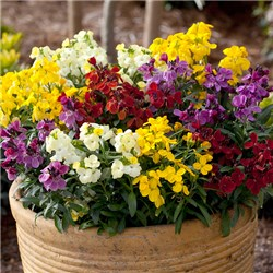 Wallflower Sugar Rush Mix - 12 x Jumbo Plug Plants