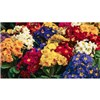 Polyanthus Crescendo Mix - 12 x Jumbo Plug Plants No Colour