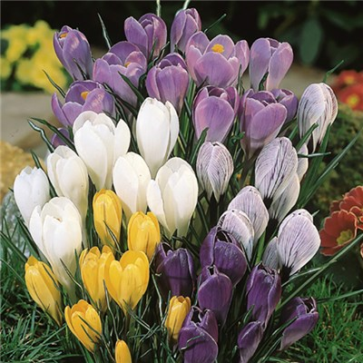 Jumbo Flowered Crocus Collection 100 Mixed Bulbs
