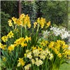 Dwarf Daffodils and Narcisisi Collection - 100 x Bulbs