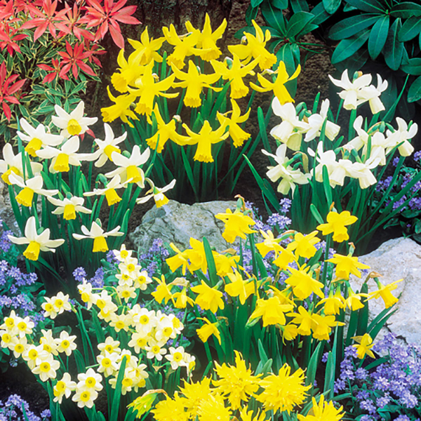 Dwarf Daffodils and Narcisisi Collection - 100 x Bulbs No Colour