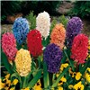 Mixed Garden Hyacinths - 12 Bulbs No Colour