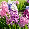 Mixed Garden Hyacinths - 15 Bulbs