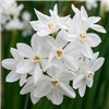 Scented Papewhite Narcissi - 10 x Bulbs No Colour