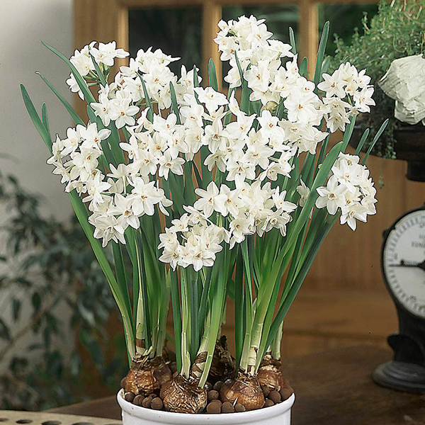 Scented Paperwhite Narcissi - 10 x Bulbs No Colour
