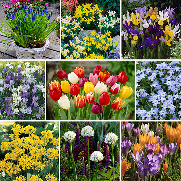 Complete 300 Spring Bulb Collection No Colour