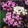 Autumn Flowering Cyclamen hederifolium 3 Each of Pink and White No Colour