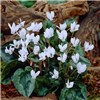 Autumn Flowering Cyclamen hederifolium 3 Each of Pink & White