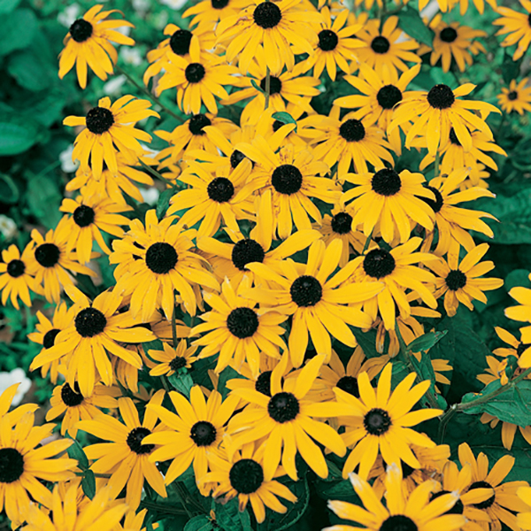 Rudbeckia Goldsturm 9cm Plants (3 Pack) No Colour