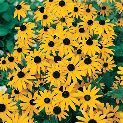 Rudbeckia Goldsturm 9cm Plants (3 Pack)
