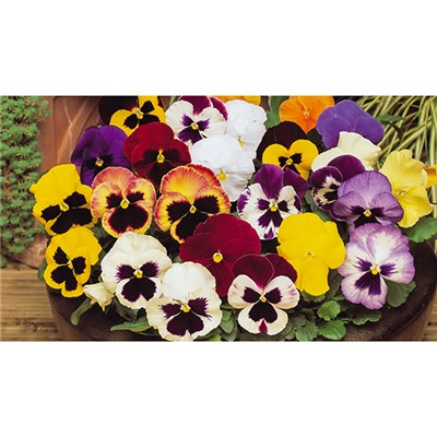 Pansy Winter Flowering Mixed - 80 x Plug Plants