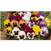 Pansy Winter Flowering Mixed - 80 x Plug Plants No Colour